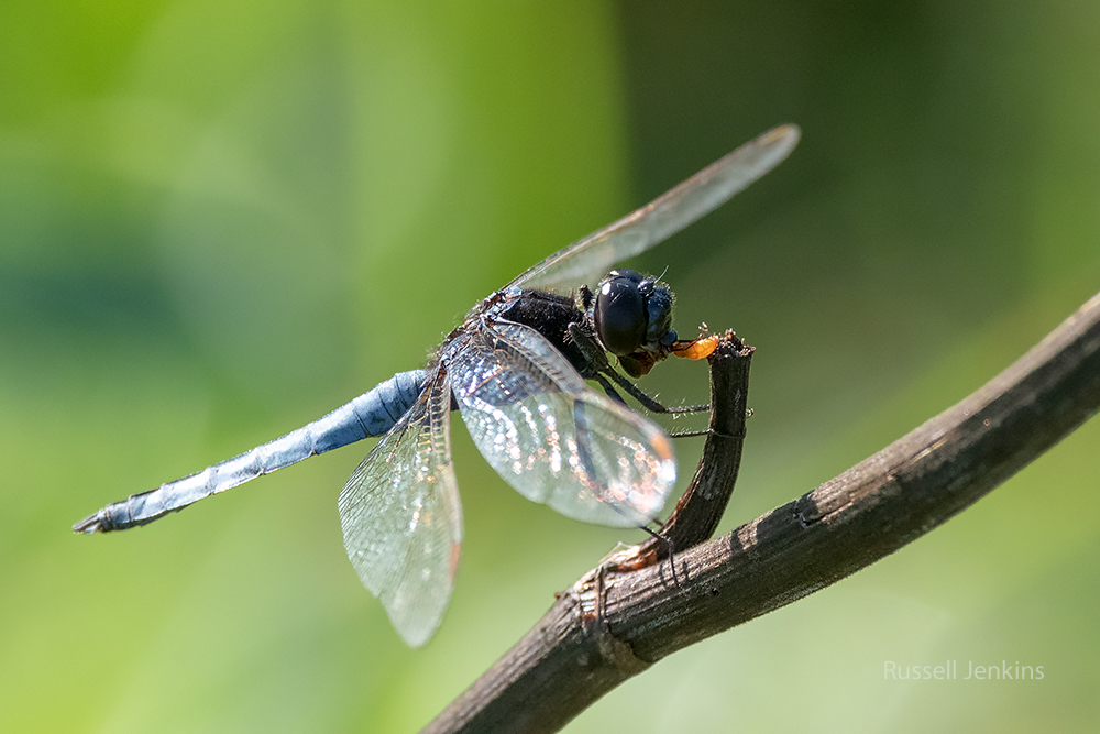 Black-headed Skimmer_RJE9350-copy.jpg