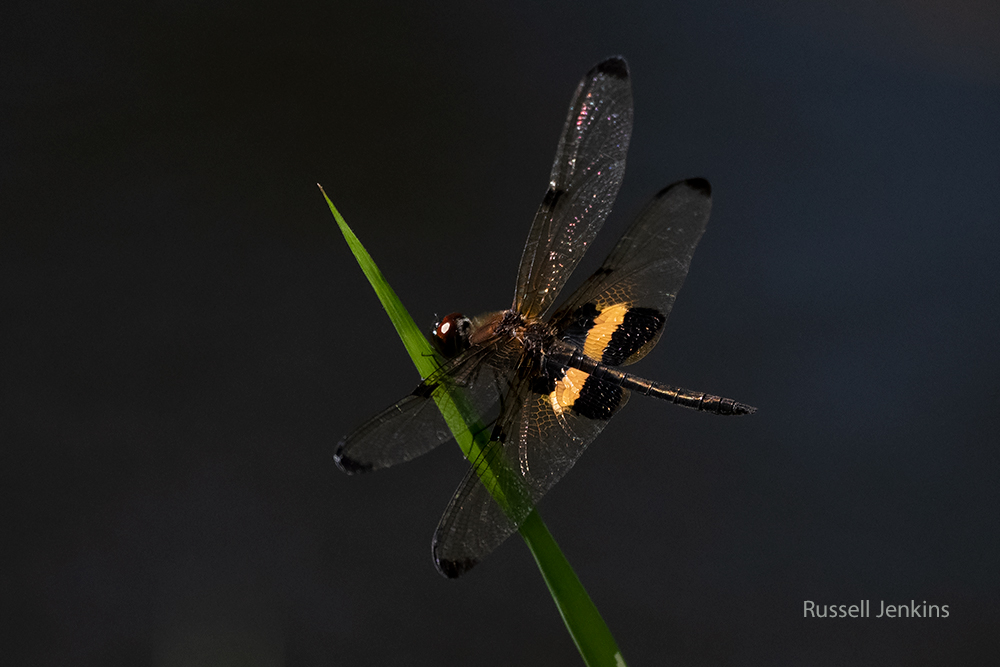 Yellow-striped Flutterer_RJE9712-copy.jpg