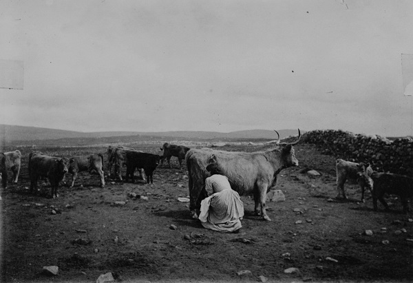 Milking a cow, unlocated and undated, probably North Uist c.1900 [Image © NMS].