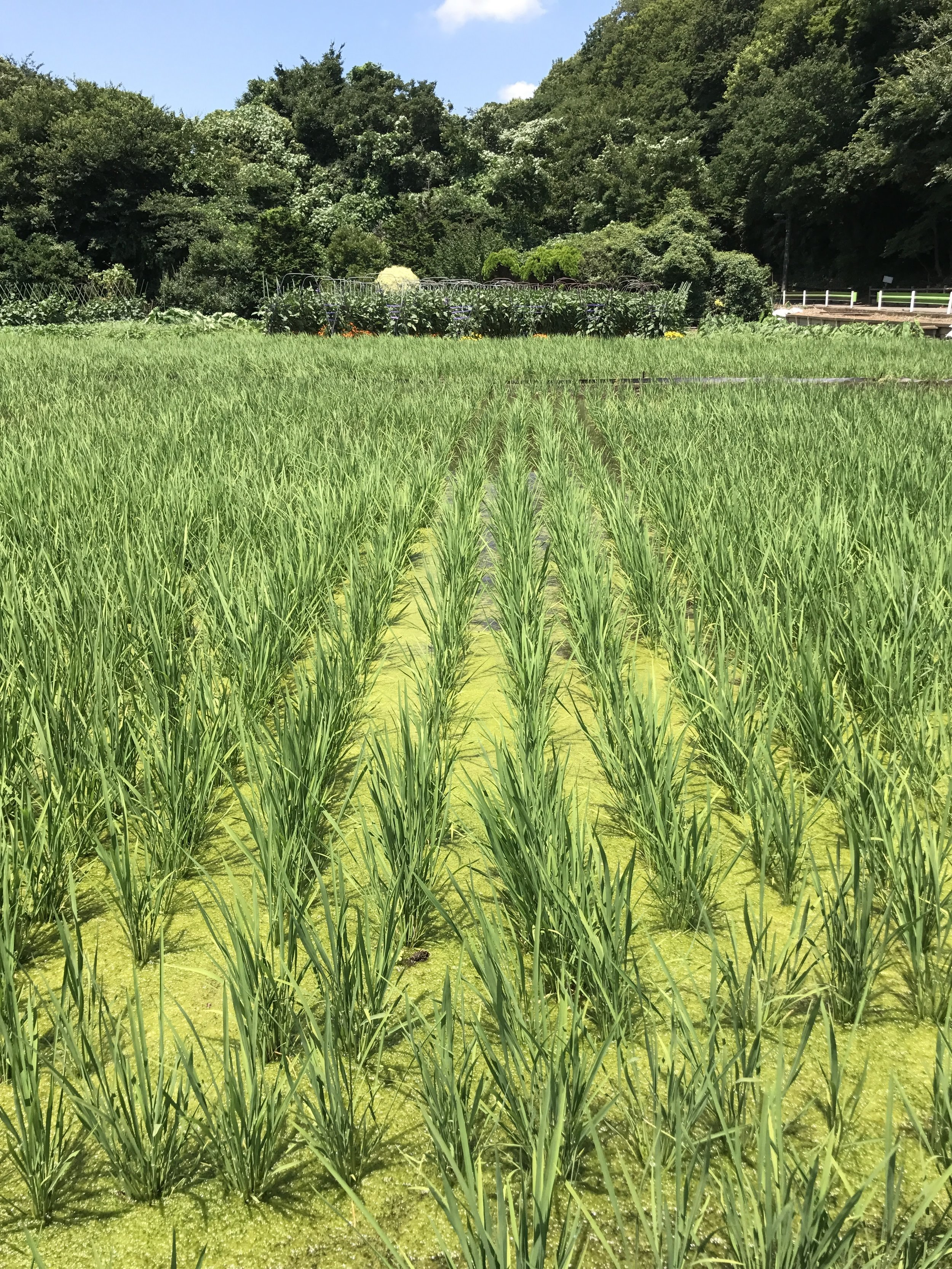 Rice Paddy in Japan