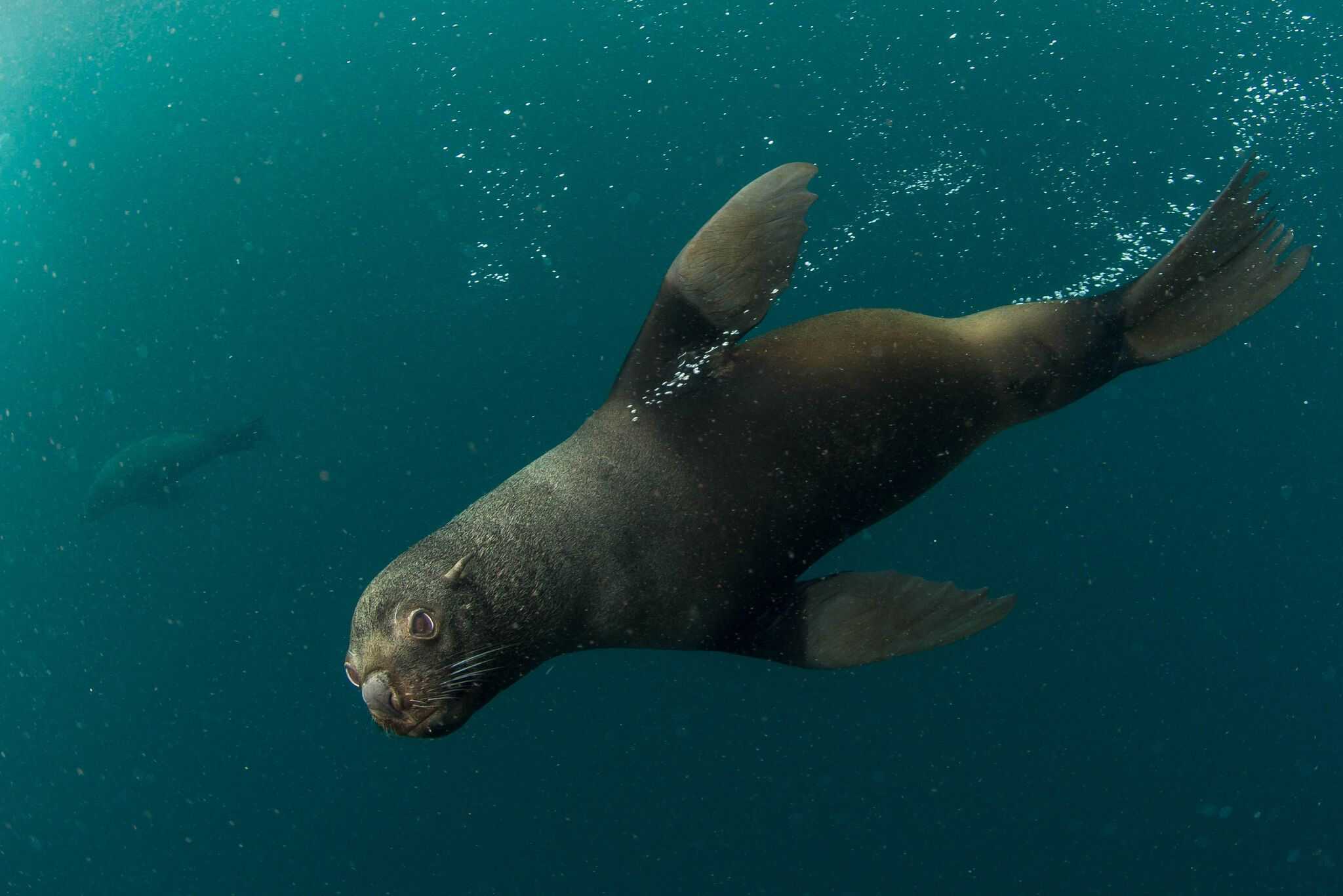 South American fur seals glide by National Geographic Pristine Seas divers in the waters of Yaganes off the southern coast of Argentina. Photo by Enric Sala/National Geographic.