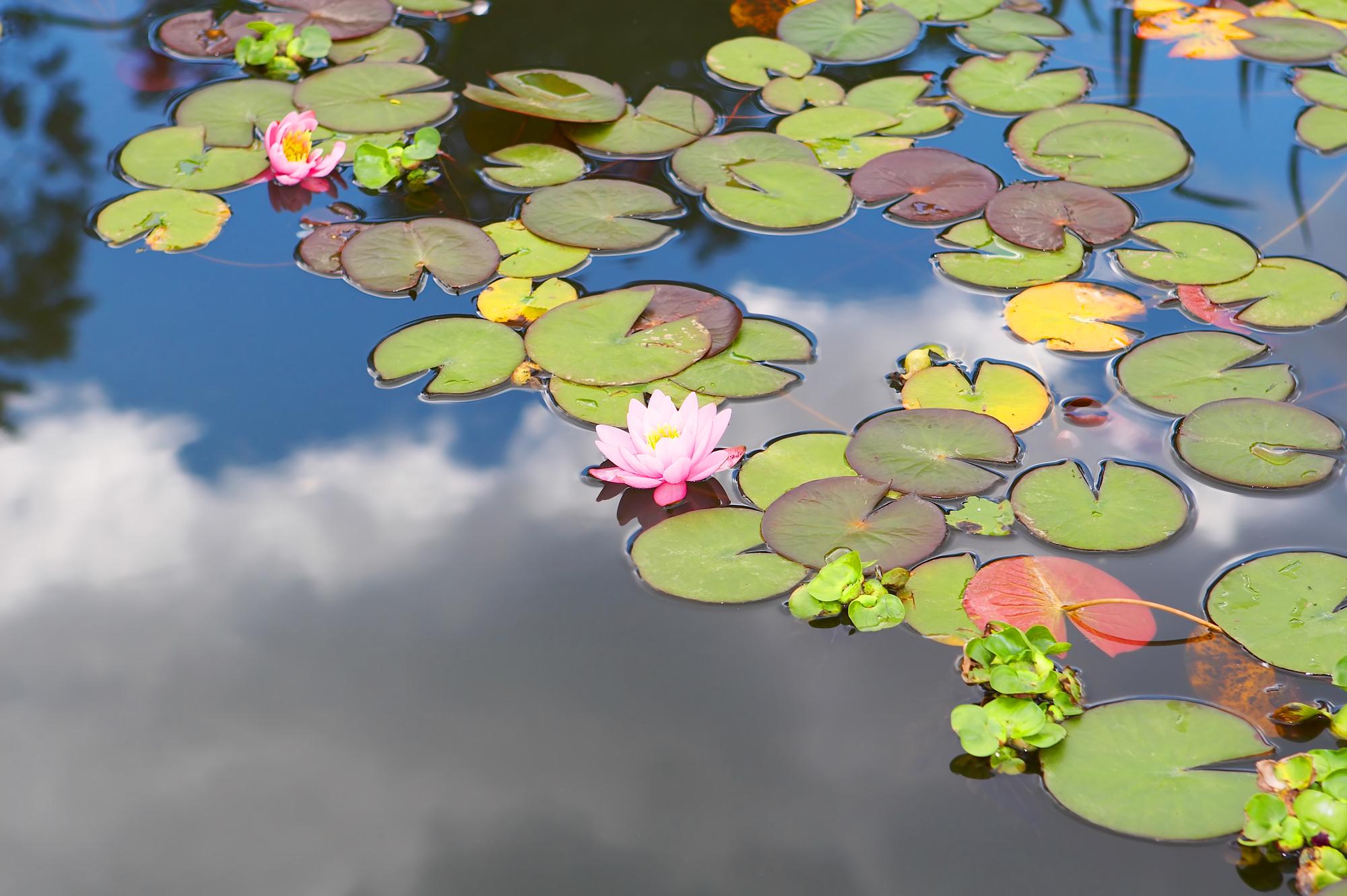 lotus pond sky.jpg