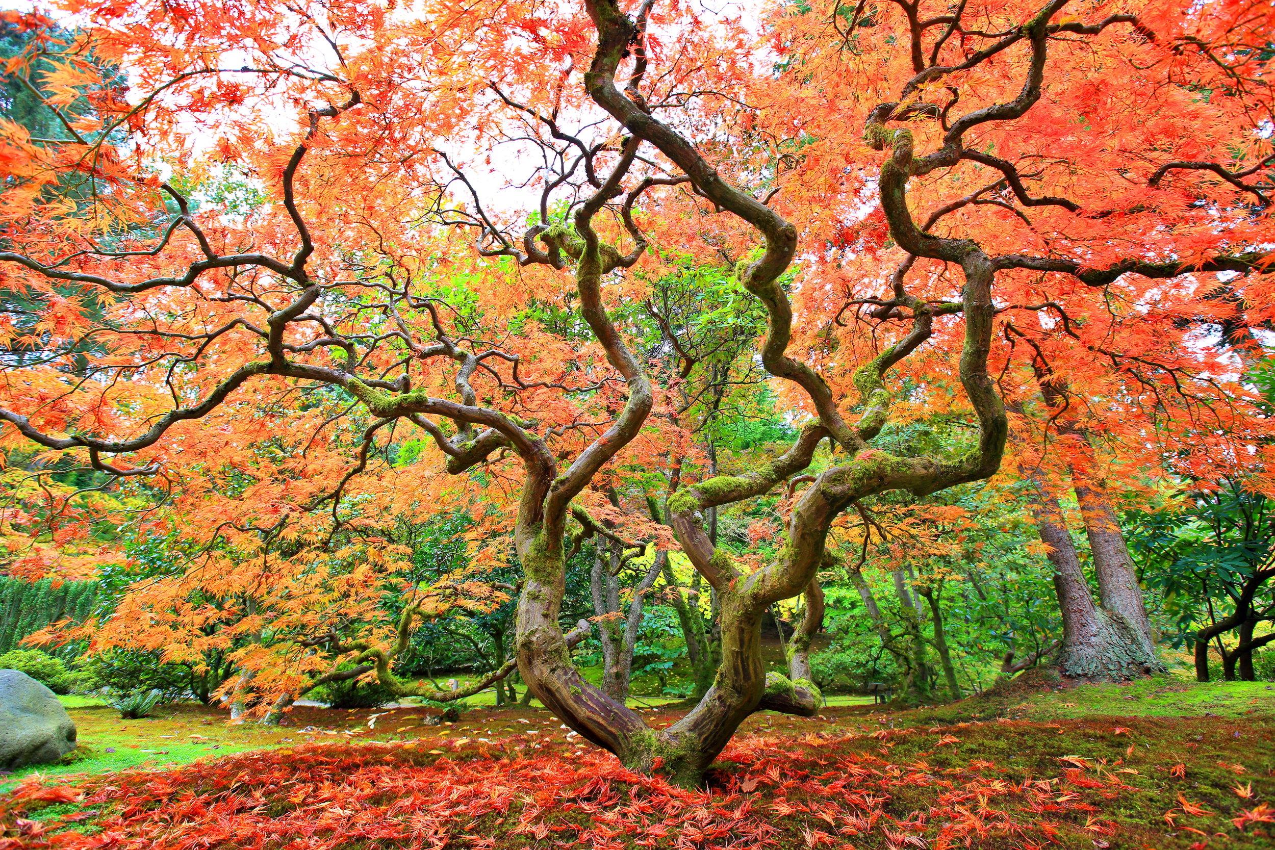 Autum maple crooked tree copy.jpg