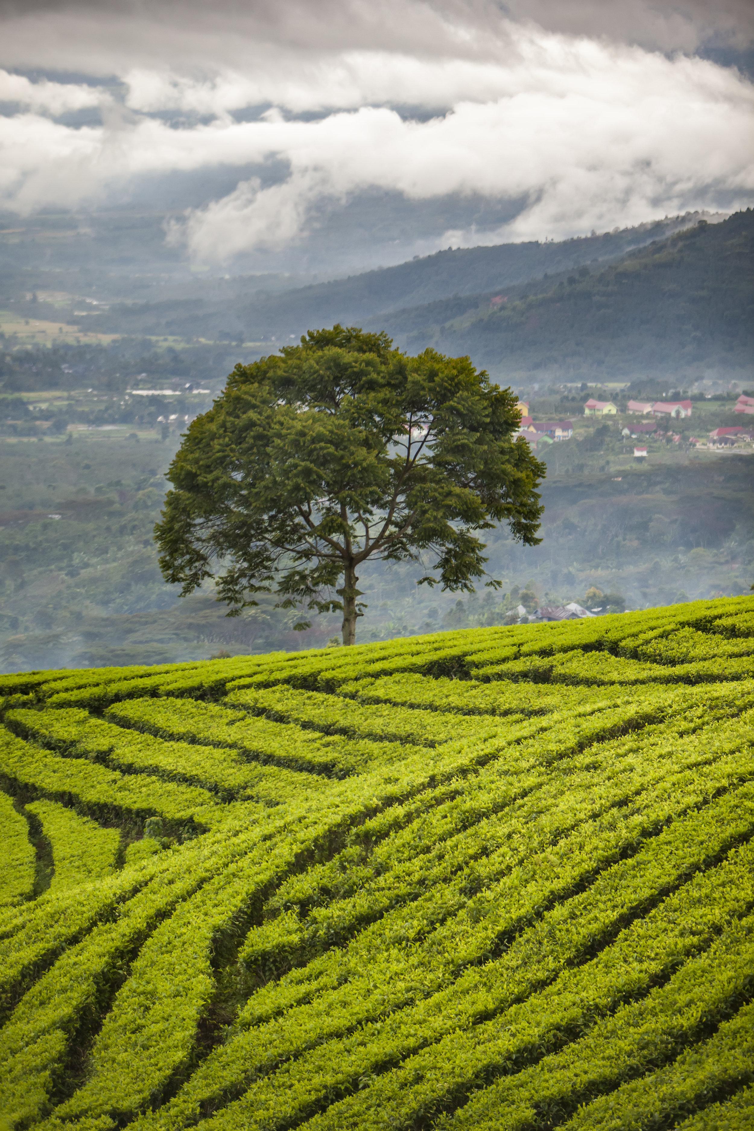 single tree puzzle green field.jpg