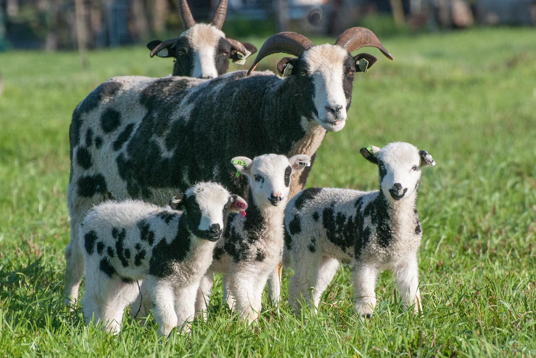 Jacob ewe with lambs.