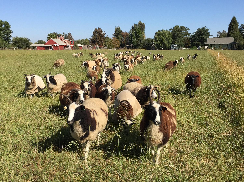 Meridian Jacobs flock grazing summer pasture.