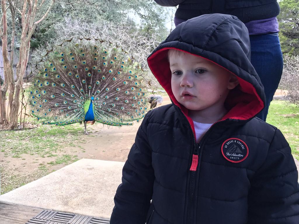 peacock_austin_zoo.jpg