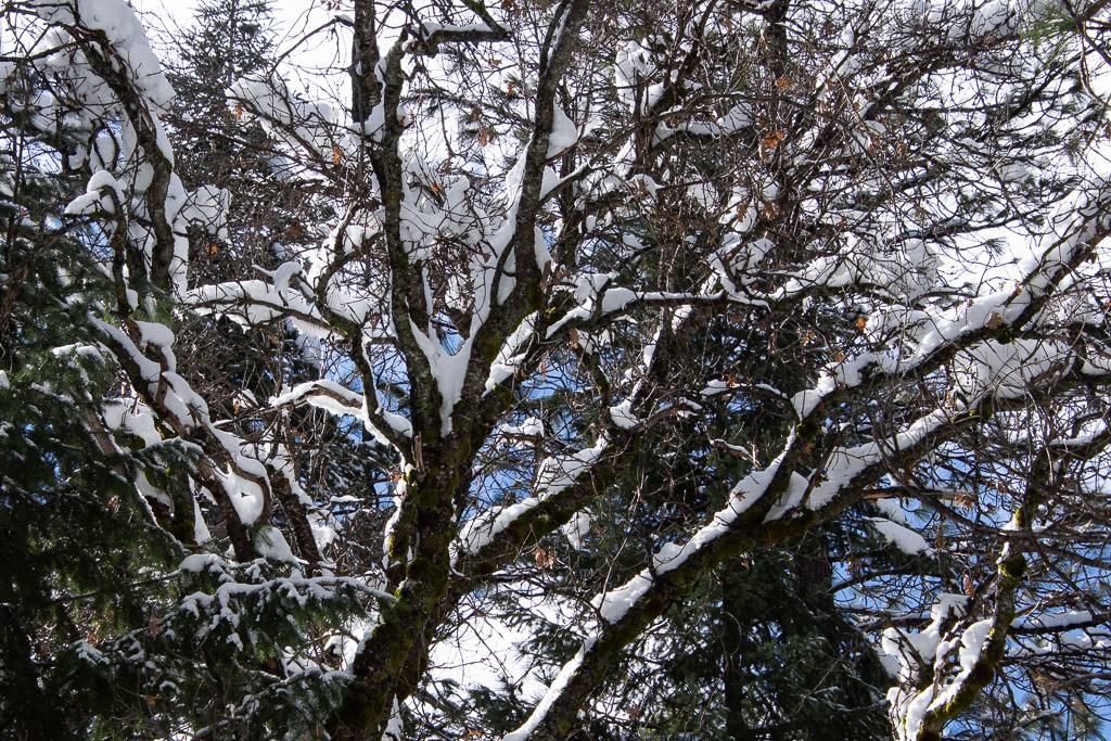 snowy_branches.jpg