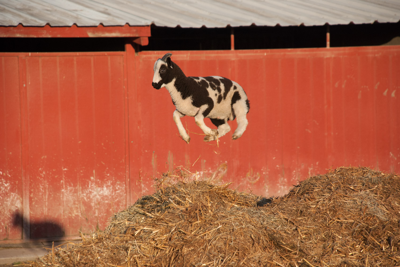 Meridian Jacobs — Jacob lambs for sale
