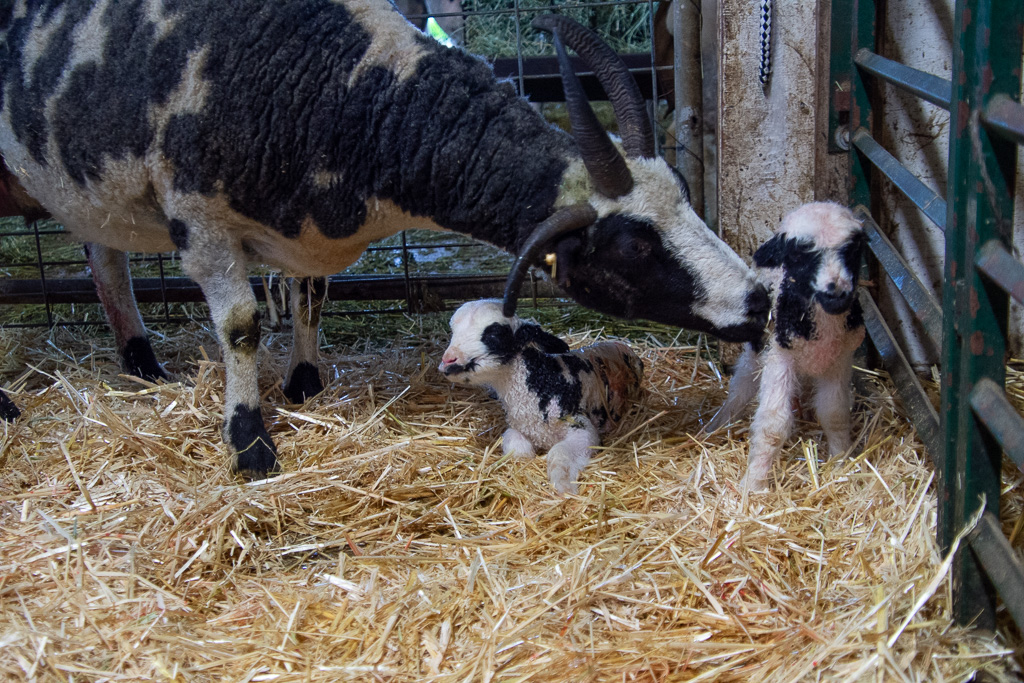 First were Honey's twin ewes.
