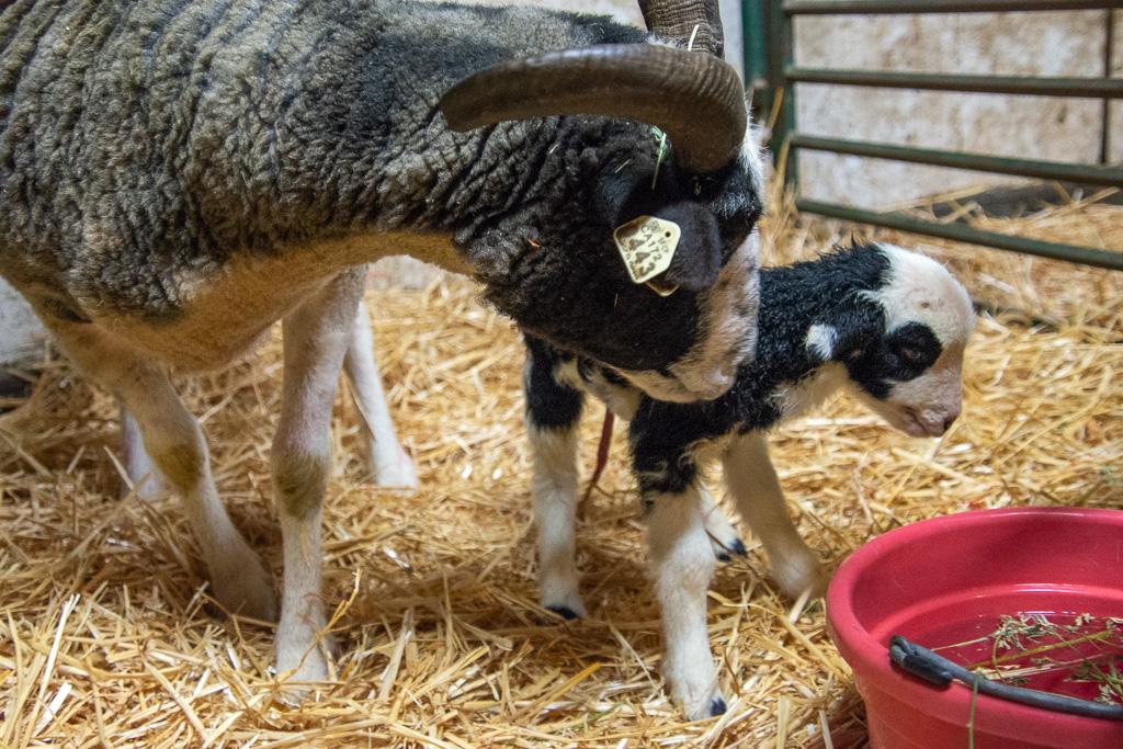 Jacob ewe and lamb.jpg