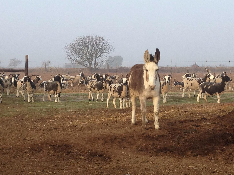 Amaryllis, the donkey, with the Jacob sheep.