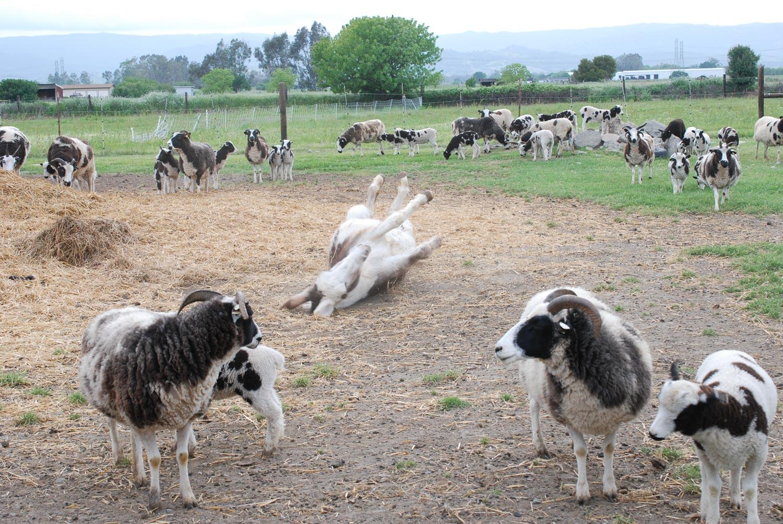 Donkey rolling in dirt.