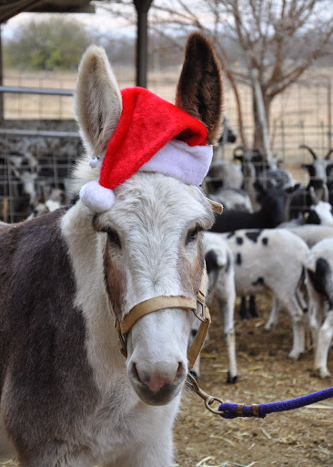 Donkey in Christmas hat.