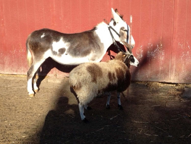 Donkey and Jacob sheep