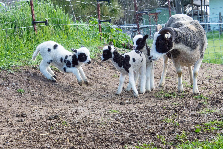 Jacob lambs playing
