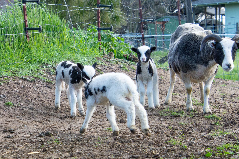 Jacob lambs playing.