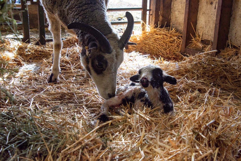 Jacob ewe Foxy and lamb
