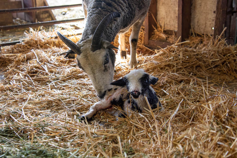 Jacob ewe and new lamb.
