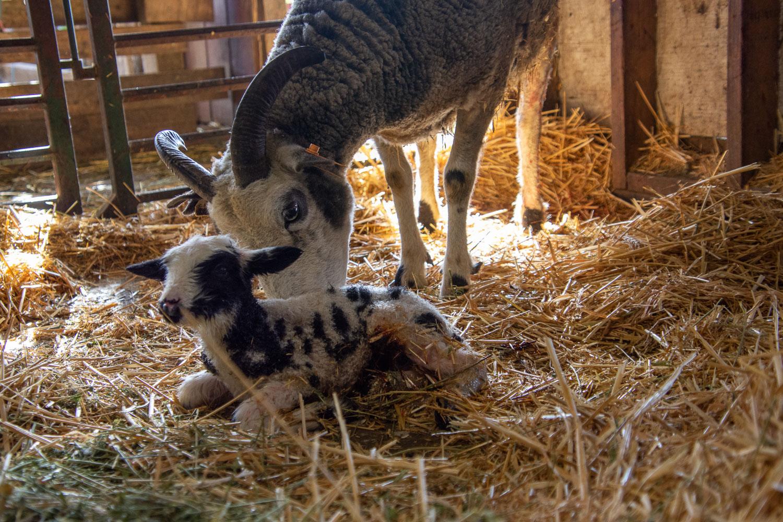Jacob ewe and her new lamb.