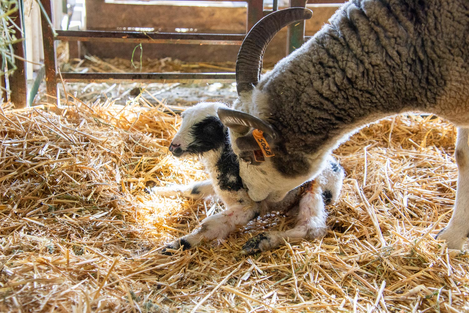 New lamb trying to stand.
