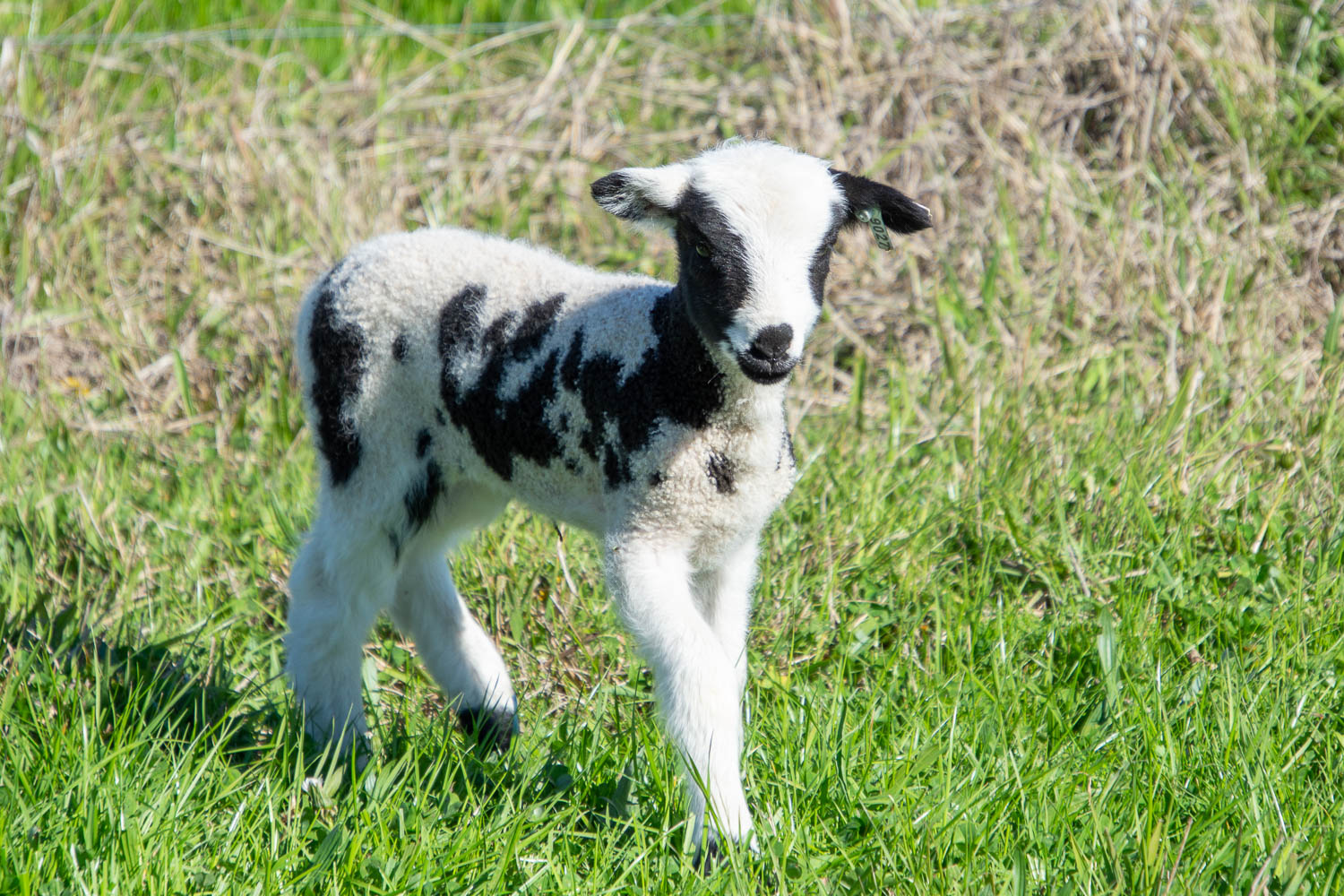 Jacob ewe lamb