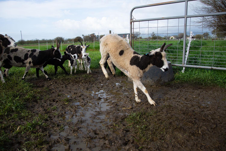 Sheep jumping over mud.