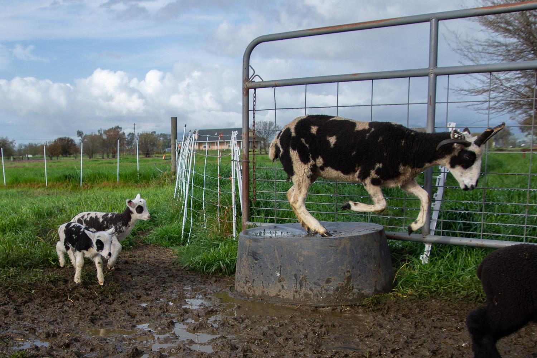 jacob ewe jumping across a bucket.