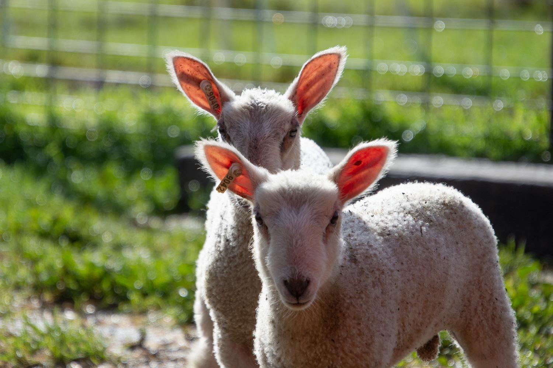BFL-X lambs