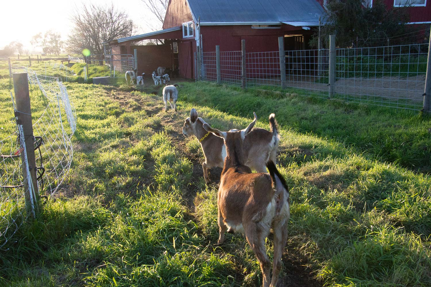 Goats running to barn.