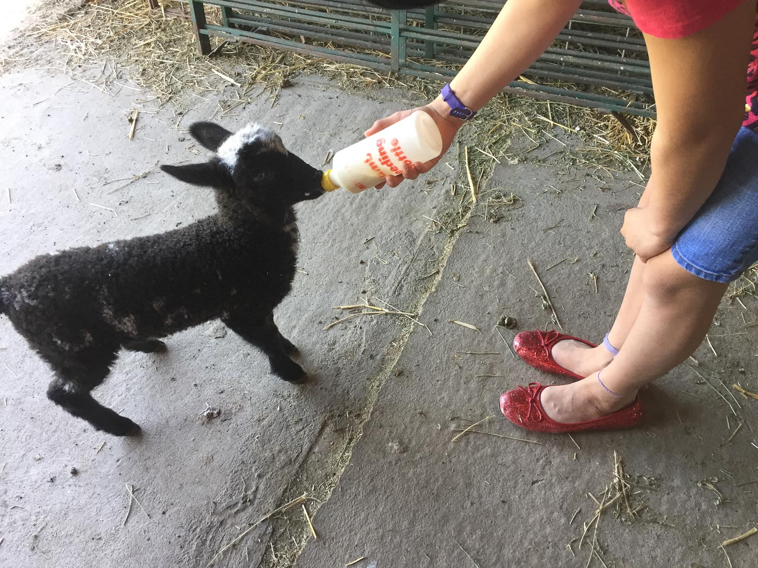 Bottle feeding lamb in red shoes.