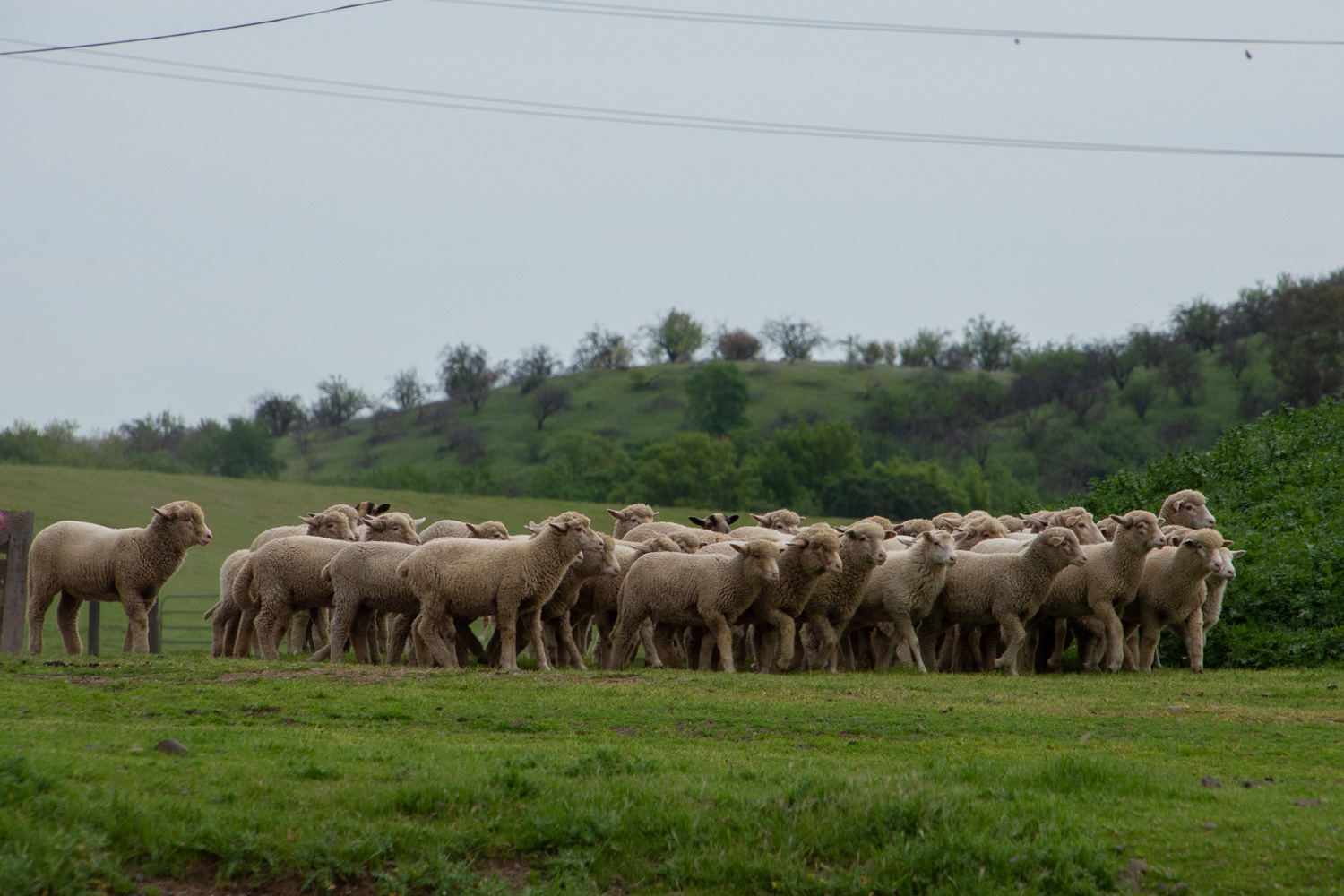 Timm Ranch sheep .