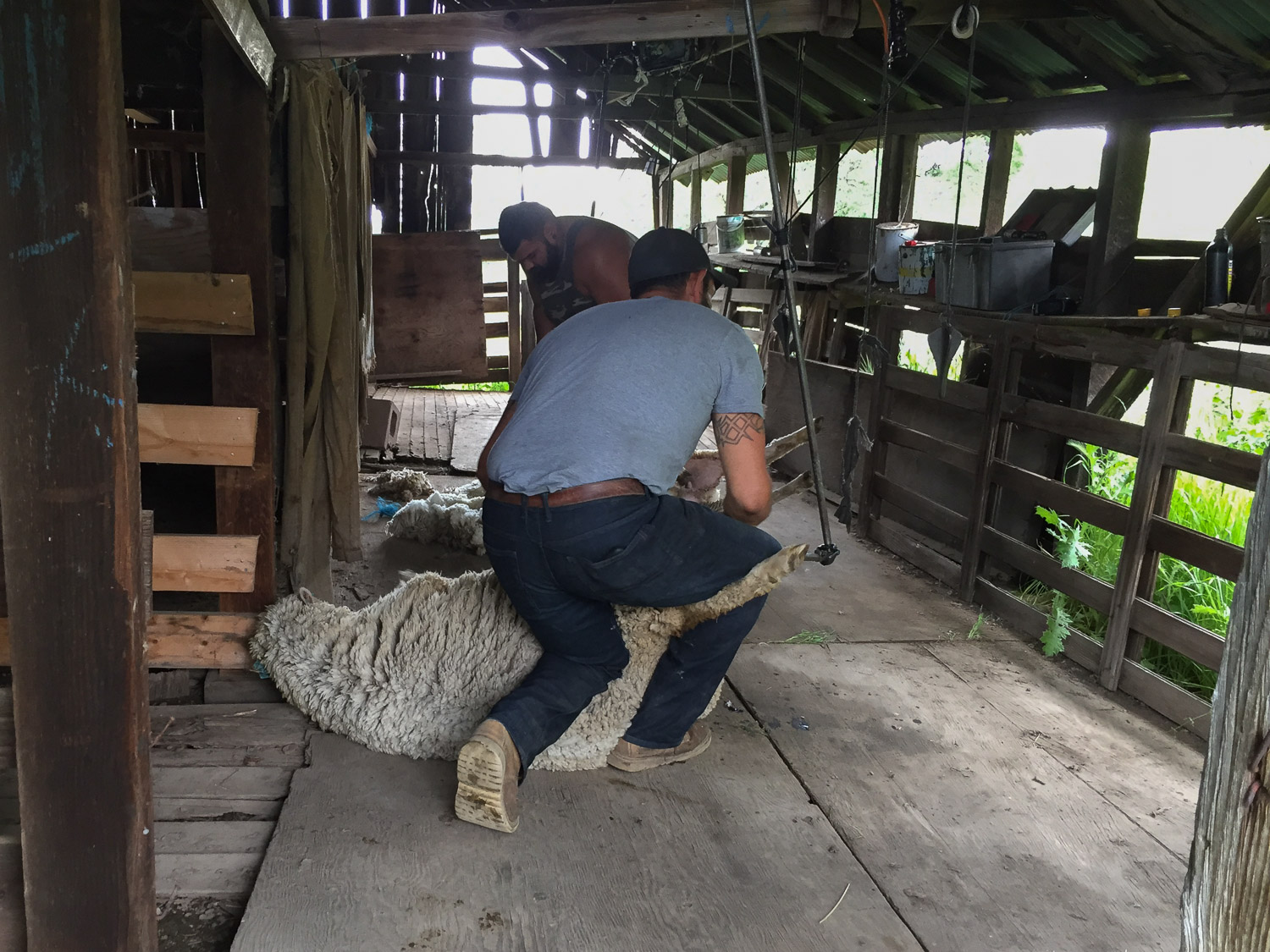 Shearing Timm Ranch sheep.