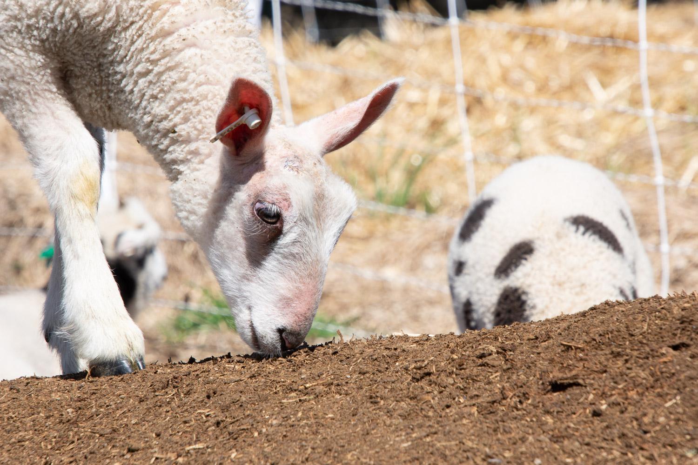 BFL-X lamb