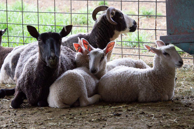 BFL-X triplet lambs