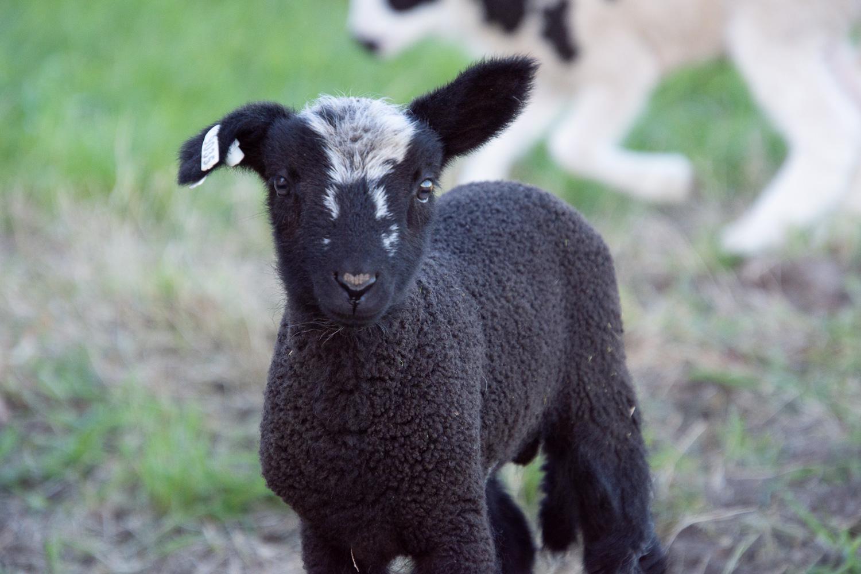 Crossbred lamb.