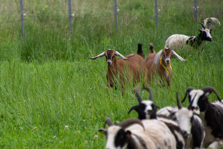 Nubian goats.