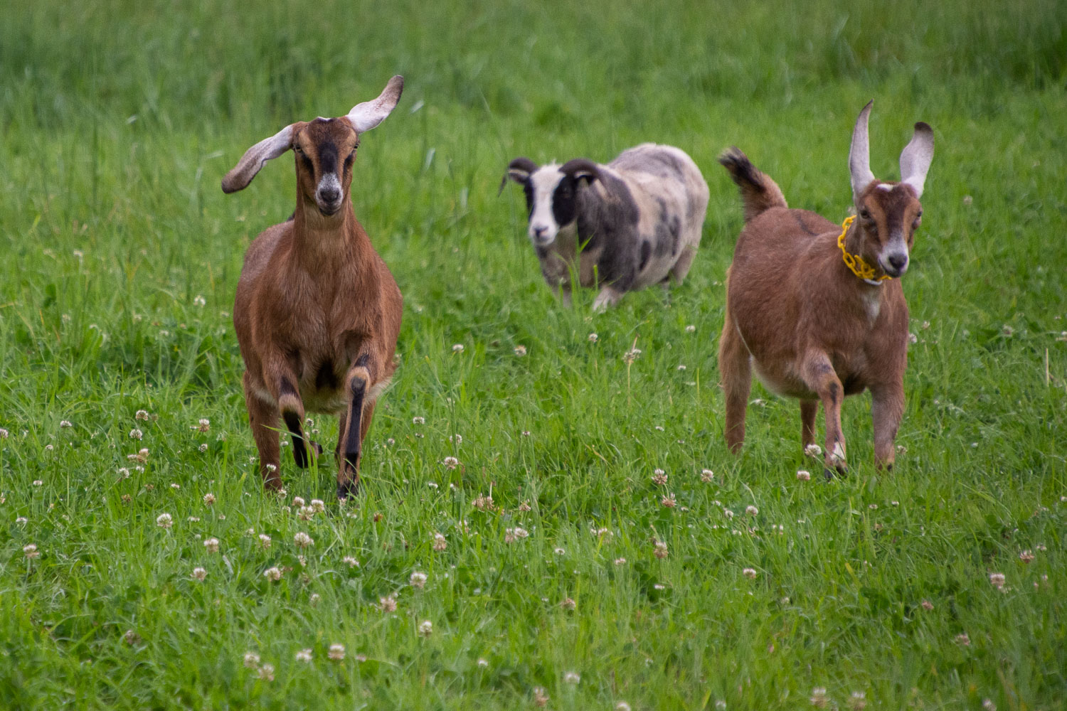 Nubian dairy goats running with ears flopping.