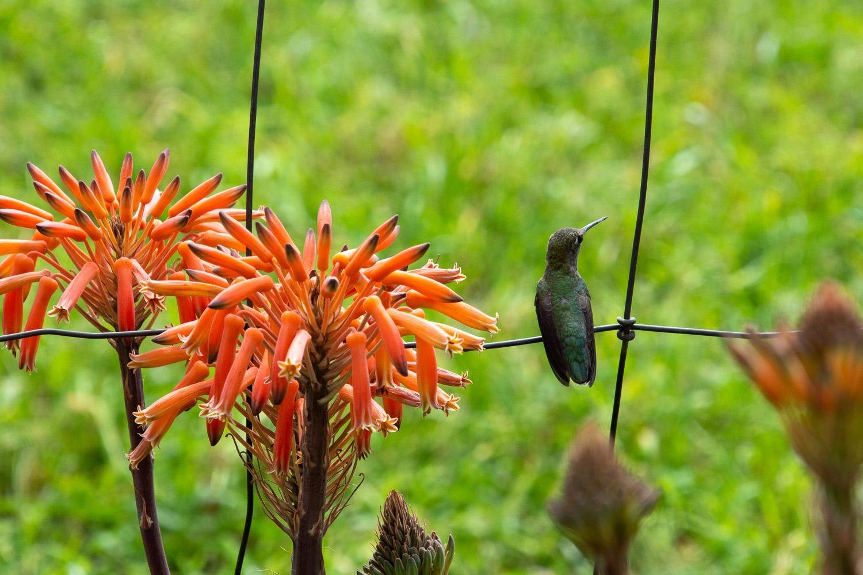 Hummingbird on fence.