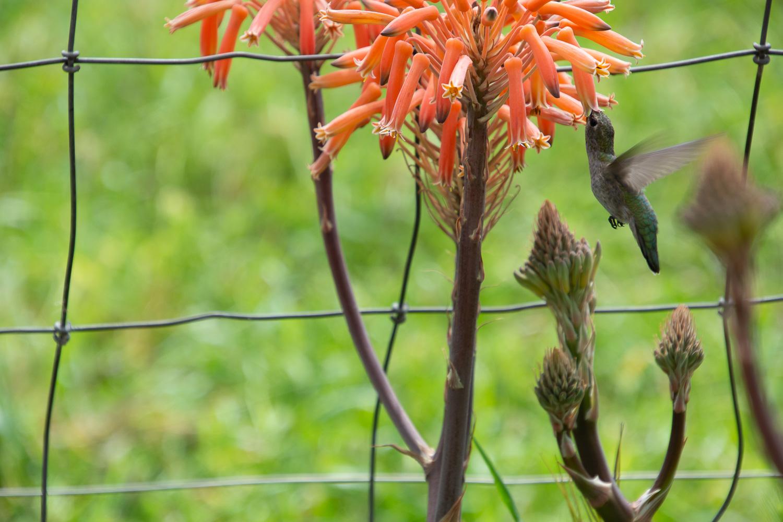 Hummingbird hovering at flower