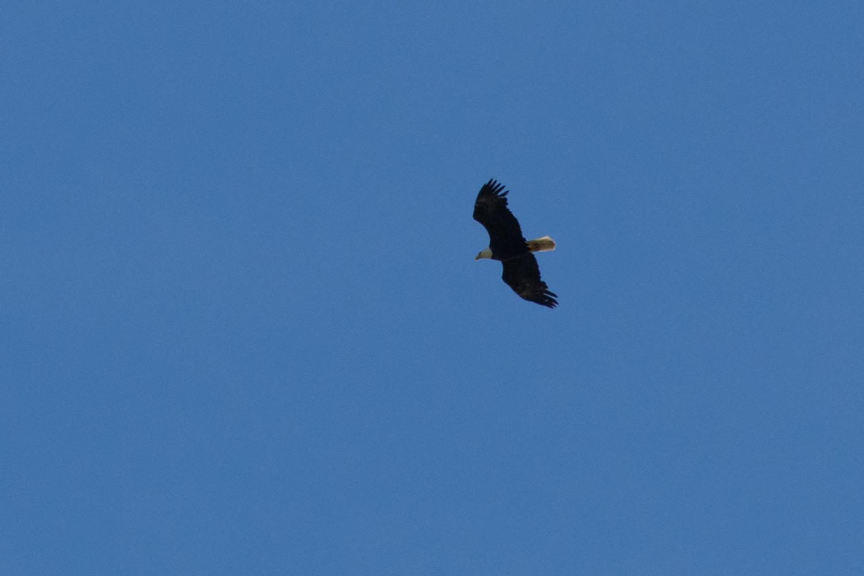 Bald eagle in Solano County
