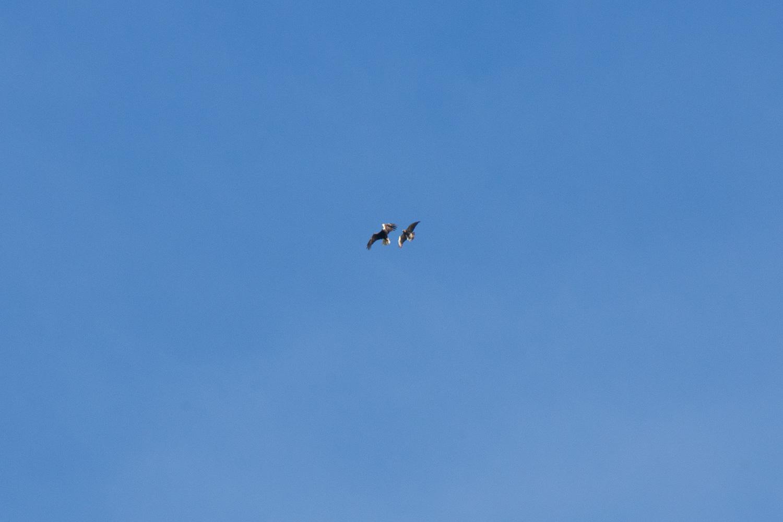 Northern harrier harassing bald eagle