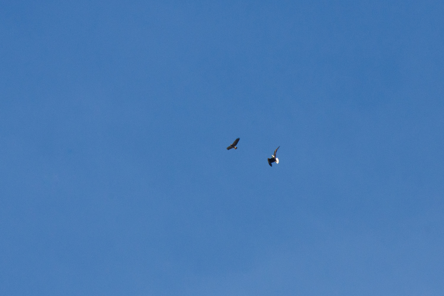 Northern harrier and bald eagle.