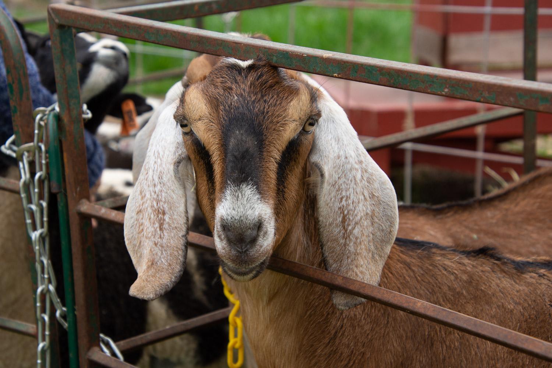 Nubian goat