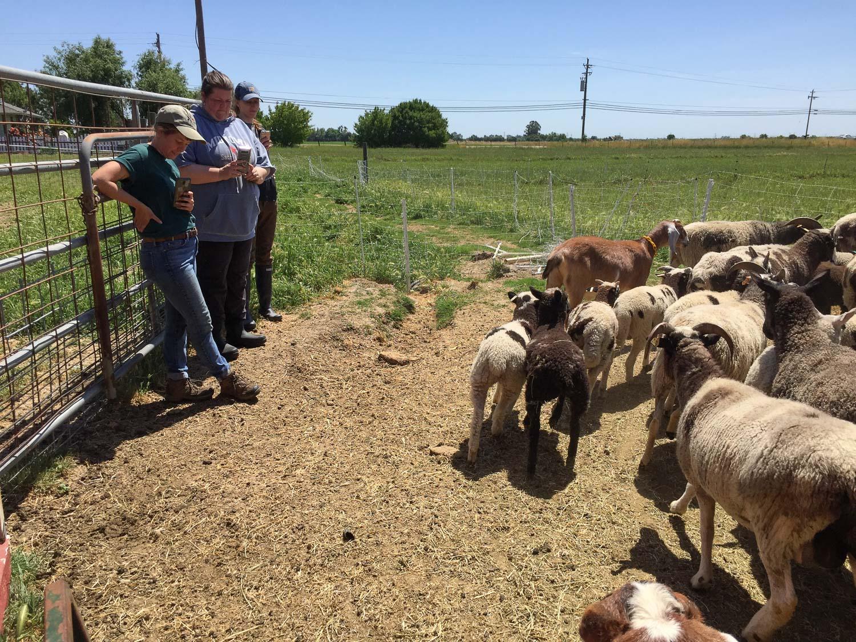 Farm Club members taking photos of sheep.