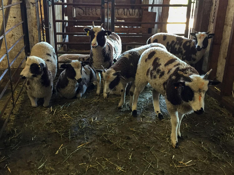 Lambs to keep?