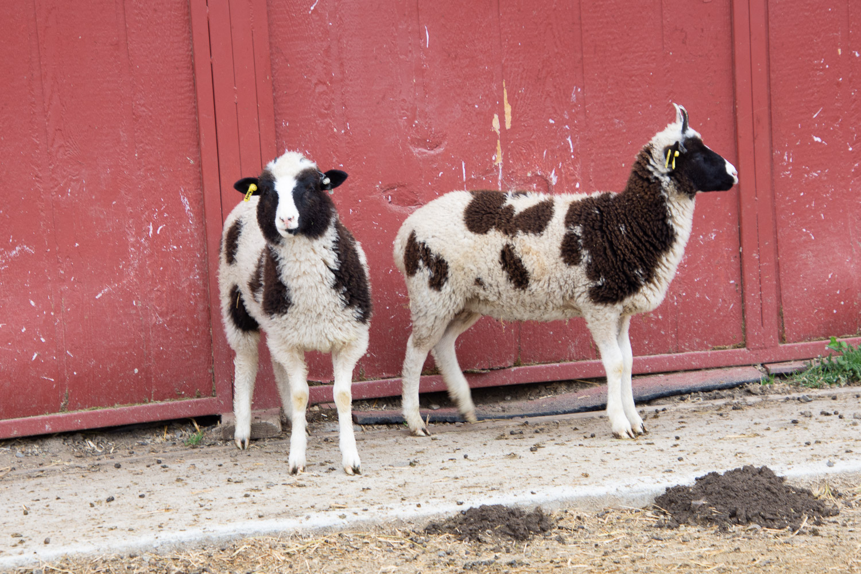 Jacob ewe lambs