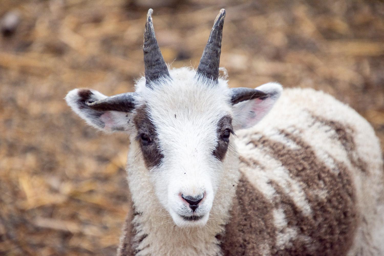 Lilac ram lamb