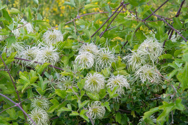 virgins bower wildflowers