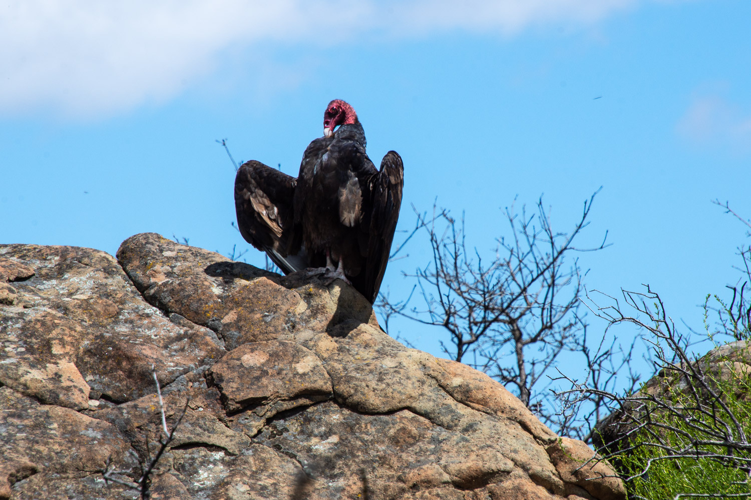 Turkey vulture at Stebbins Cold Canyon
